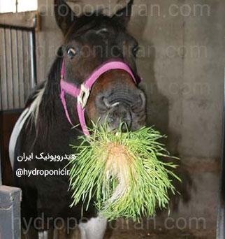 تغذیه-اسبها-با-علوفه-هیدروپونیک-۳