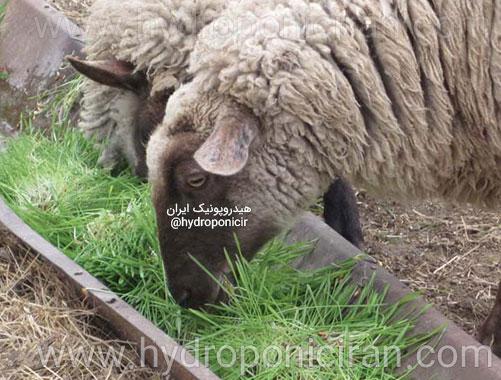 گوسفندها-در-حال-تغذیه-از-علوفه-هیدروپونیک-۲