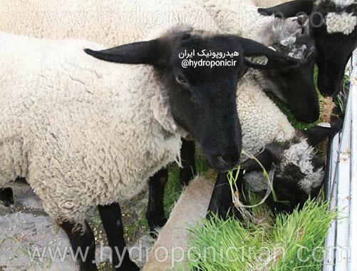 گوسفندها-در-حال-تغذیه-از-علوفه-هیدروپونیک