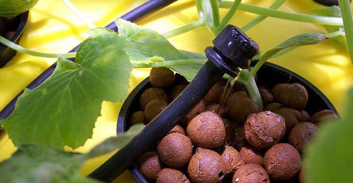 پر کردن گلدان با لیکا در سیستم قطره ای هیدروپونیک