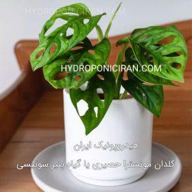 گلدان-مونسترا-حصیری-یا-گیاه-پنیر-سوئیسی---گیاه-زینتی-مناسب-نگهداری-هیدروپونیکی-در-خانه