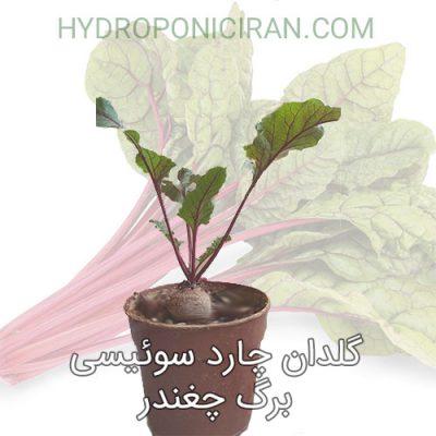 گلدان چارد سوئیسی یا برگ چغندر - سفارش اینترنتی با ارسال پستی و پیک *هیدروپونیک ایران*